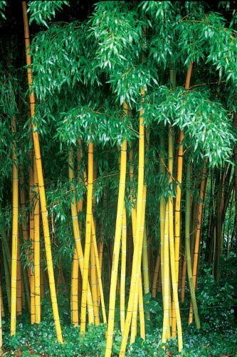 10 Seeds Yellow Bamboo Fresh Garden plant seeds Phyllostachys Viridis