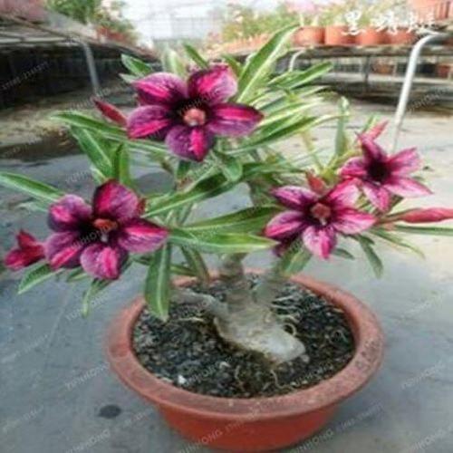 1 Pcs Desert Rose Potted Flowers Seeds Adenium Obesum Indoor Bonsai Plant Mini U For Sale Online Ebay