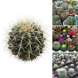 100-teile-beutel-Gemischt-Kaktus-Samen-Indoor-Home-Blume-Kaktus-Samen-S4T1