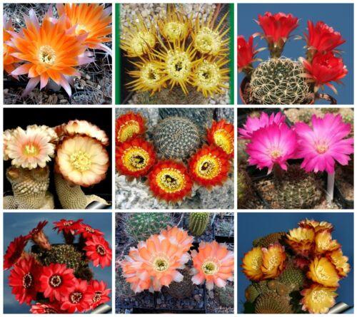 graines cactus mix succulents Seeds Mix C 100 graines de LOBIVIA Mix