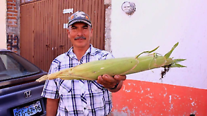 100-Peruvian-Giant-White-Inca-seeds-Cuzco-non-GMO-maize-buy-2-get-a-1-free