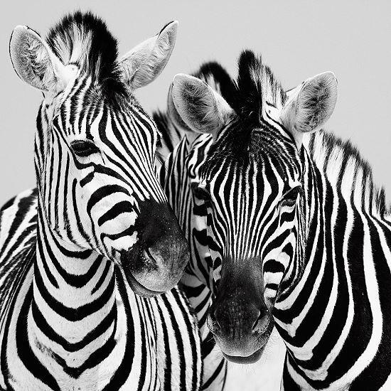 Nina Papiorek  Namibia Zebras Keilrahmen-Bild Leinwand Afrika schwarz-weiss