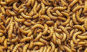 Feed for dragons, geckos, chickens, birds, etc - Mealworms