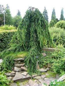 Abete Rosso Piangente Picea Abies Inversa Pendula ø Vaso 18 Ebay