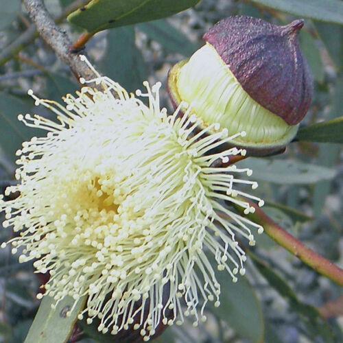 E 5 EUCALYPTUS burracoppinensis Burracoppin Mallee Seeds