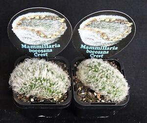Mammillaria-bocasana-crested-x-1