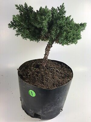 procumbens nana  Bonsai Tree Japanese Dwarf  Juniper