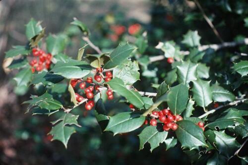 """20 Reeve west America holly seeds Ilex opaca /"""" Reeve west /"""""""