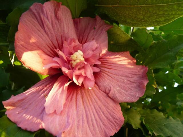 Rose of Sharon Hibiscus Syriacus HARDY fleur double!! H-30 rose saumon 15 seeds