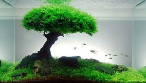 image is loading xmas moss live aquarium plant java fish tank - Christmas Moss
