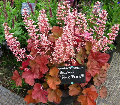 heuchera 'Pink Pearls' (Coral Bells) ~ combined shipping available ~ SHIPS MARCH