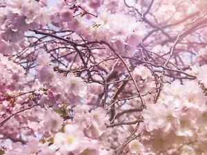 Fototapete-Japanische-Zierkirsche-Fruehling-Kleistertapete-oder-Selbstklebende