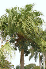 10 Seeds Livistona chinensis Chinese Umbrella Palm Tree #421