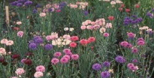 Bachelor Button 200 Seeds Centaurea Cyanus Tall Mix
