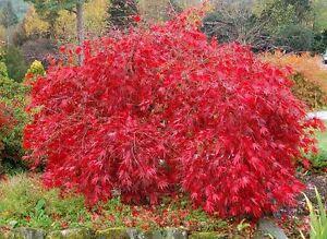 Red Lace Leaf Japanese Maple Acer Palmatum Atropurpureum Dissectum