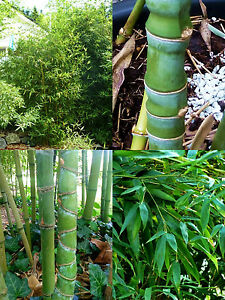 goldrohr gelber knoten bambus phyllostachys aurea. Black Bedroom Furniture Sets. Home Design Ideas