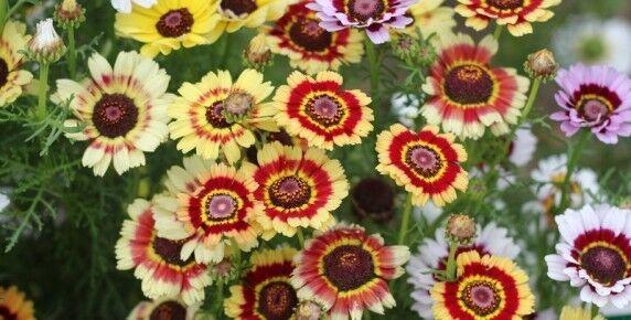 FLOWER CHRYSANTHEMUM CARINATUM PAINTED DAISY 750 SEEDS