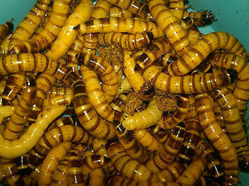 1000 Live Superworms Free Shipping