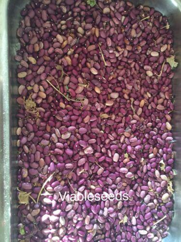 25 Seeds Fresh dry shell Cunti Muni de Los Yaquis Ultra Rare Purple Bean Bush