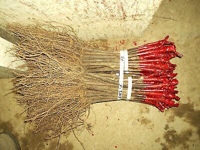 Lot 5 plants de vigne pr t planter raisin de table ou Planter vigne raisin de table