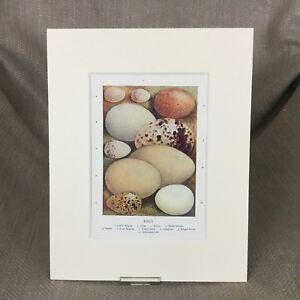 Antico Vittoriano Stampa Uccelli Uova Egg Diverso Tipi Naturale Storia Ca 1895