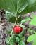 thumbnail 4 - 25 + seeds - Red trillium - purple trillium - Trillium erectum - trille rouge -