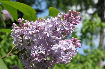 Syringa vulgaris (Common Lilac) - 30 seeds. Very fragrant shrub or small tree.