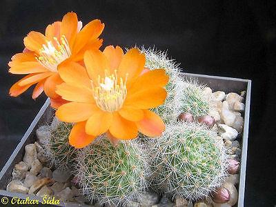 Aylostera mixture - Crown Cactus - Seeds