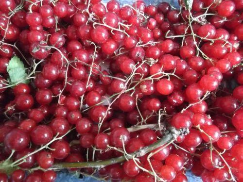 2 x pesanti Cropper Piante ribes rosso-BARE radicato