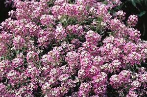 Details about Sweet alyssum ( Dwarf ) Royal Carpet 100 Flower Seeds Non GMO  Hardy Free Ship