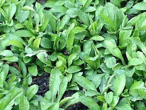 Chinese herb indian kalimeris malan 20 live plants