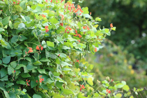 Scarlet Runner Pole Bean Seeds Attract Hummingbrds Stunning Orange Red Blooms