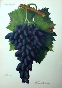 100% De Qualité Raisin Olivette Noire Vin Oenologie Viala Ampélographie Lithographie Belle Et Charmante