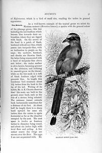 Original Old Antique Print Natural History 1895 Brazillian Motmot Bird 19th