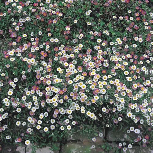 30 GROUND COVER PERENNIAL//  EASY ERIGERON SANTA BARBARA DAISY FLOWER SEEDS