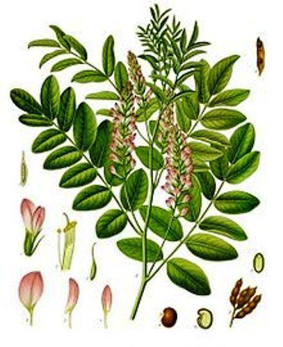 Liquorice Plant - Glychrrhiza glabra - 50 Seeds