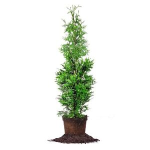 Thuja-Green-Giant-Live-Plant-Size-4-5-ft