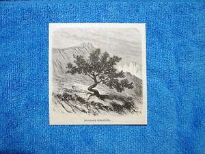 Gravure-Annee-1862-Baccharis-obtusifolia