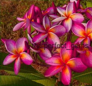 Plumeria-034-purple-rainbow-034-50-seeds-Wonderful-blooms