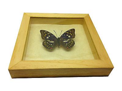 Set Tigers Danaus Genutia Real Butterflies Entomology Collectible In Shadowbox