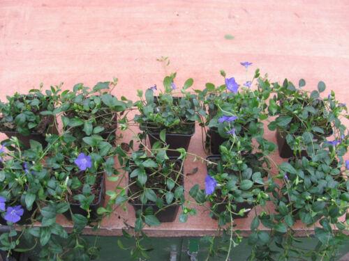 Garten Bodendecker Vinca Minor Garten