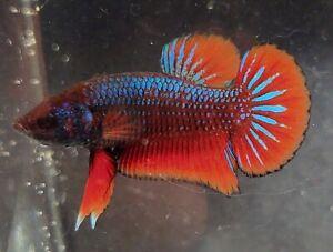 USA Breeder - live male betta - hmpk - wild type red - rainbow candy koi genes
