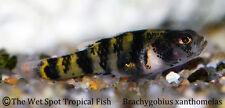 "(6) .5"" Mini Bumble Bee Goby WILD Brachygobius xanthomelas Live Fresh Tropical"