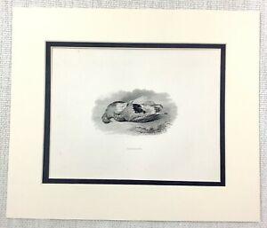 1843 Antico Stampa Caccia Tiro Selvaggina Wild Gioco Uccelli Incisione 19th C