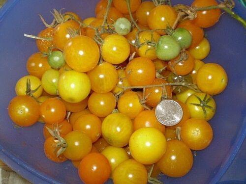 delicious Egg Yolk tomato yellow heirloom NON GMO BITE OF SUNSHINE productive