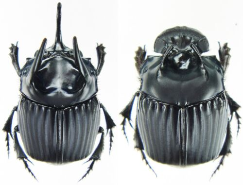 Insect SCARABAEIDAE Phanaeus haroldi San Martin,Peru Large Pair ....!!