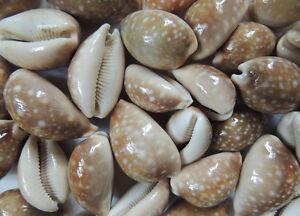 Coquillage cypraea vittelus lot de 3 d coration coquillage mer aquar ebay - Decoration coquillage mer ...