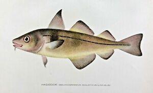 1904-1906 RARE Antique DENTON FISH Print HADDOCK Melanogrammus NICE CHROMO L@@K!