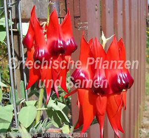 australische-Wuestenerbse-Swainsona-formosa-6-Samen-RARITAT-fuer-Balkon-rot