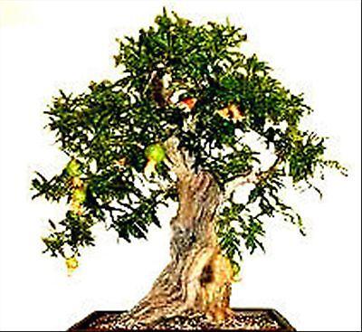 Púnica Granatum nana. GRANADO ENANO. 50  Semillas.